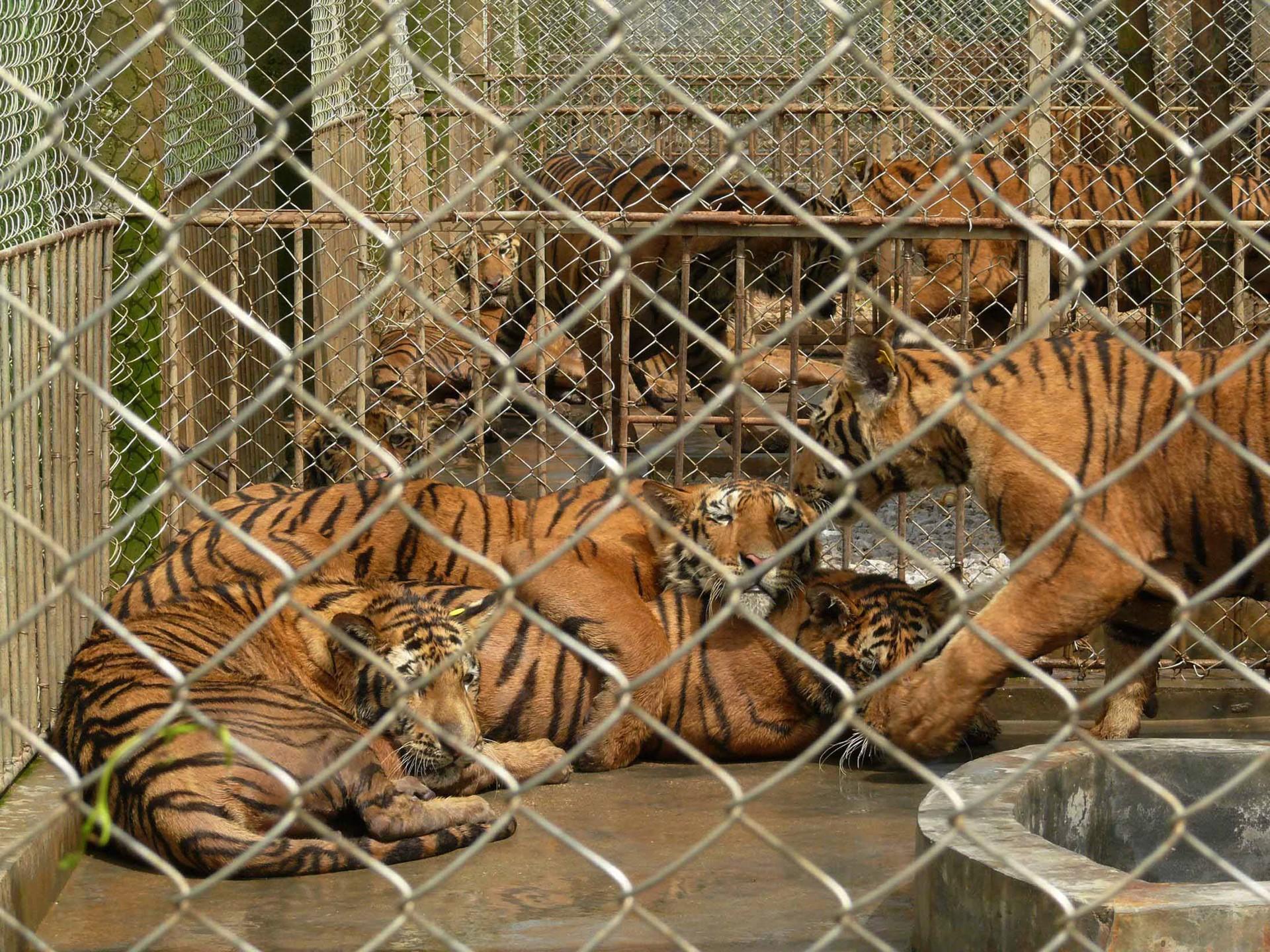 velké tygří kom