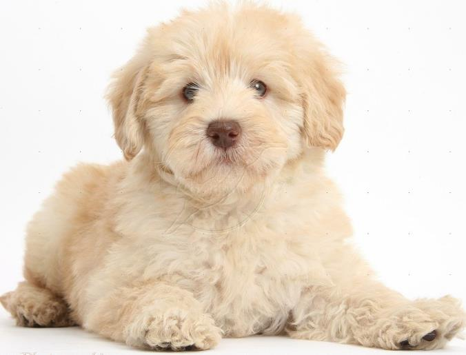Jewell's Goldendoodles