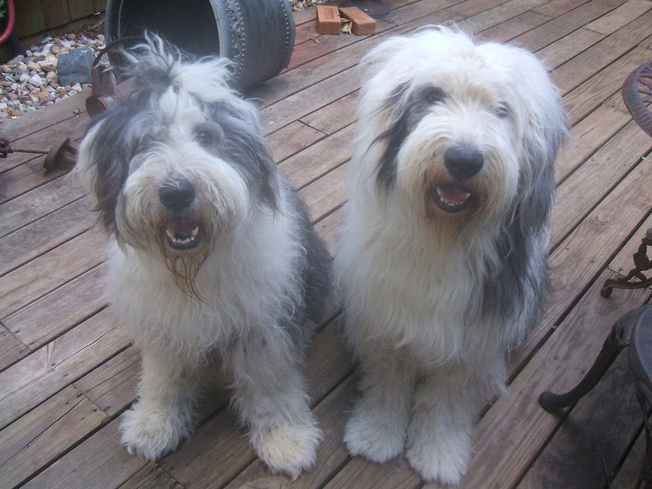 Old English Sheepdogs Puppies For Sale Old English