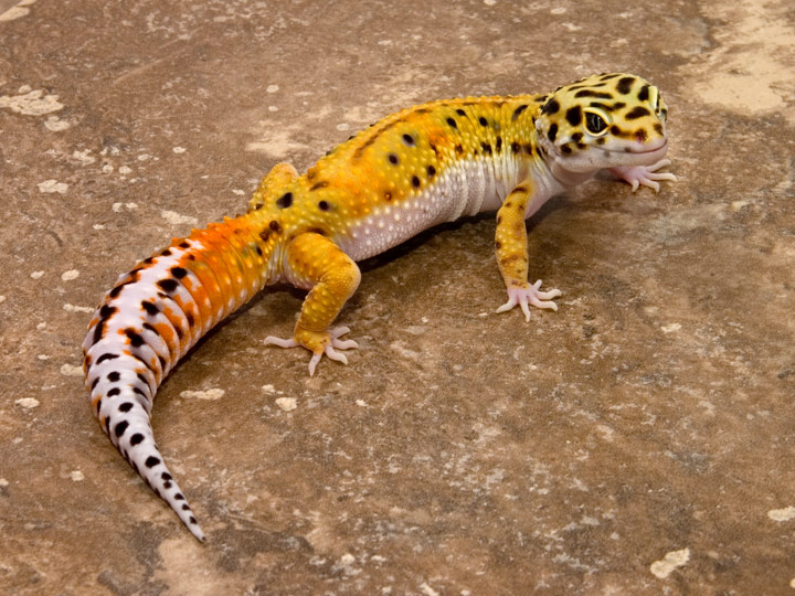 how much would a adult male lepord gecko cost