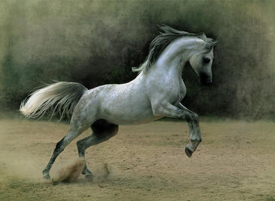 The world famous arabian horse page 4 - Arabian horse pictures ...
