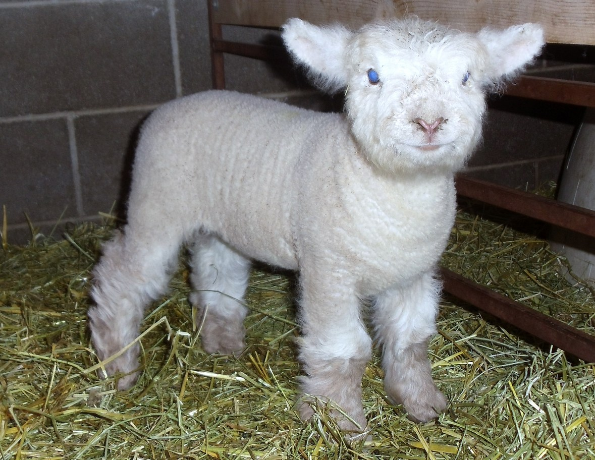 Olde english baby doll miniature southdown sheep