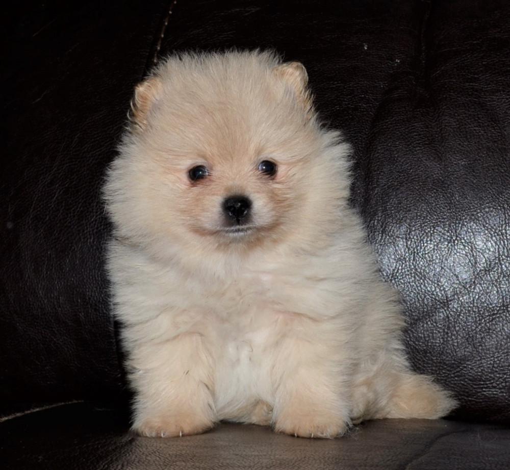 pomeranian puppies available | available pomeranians