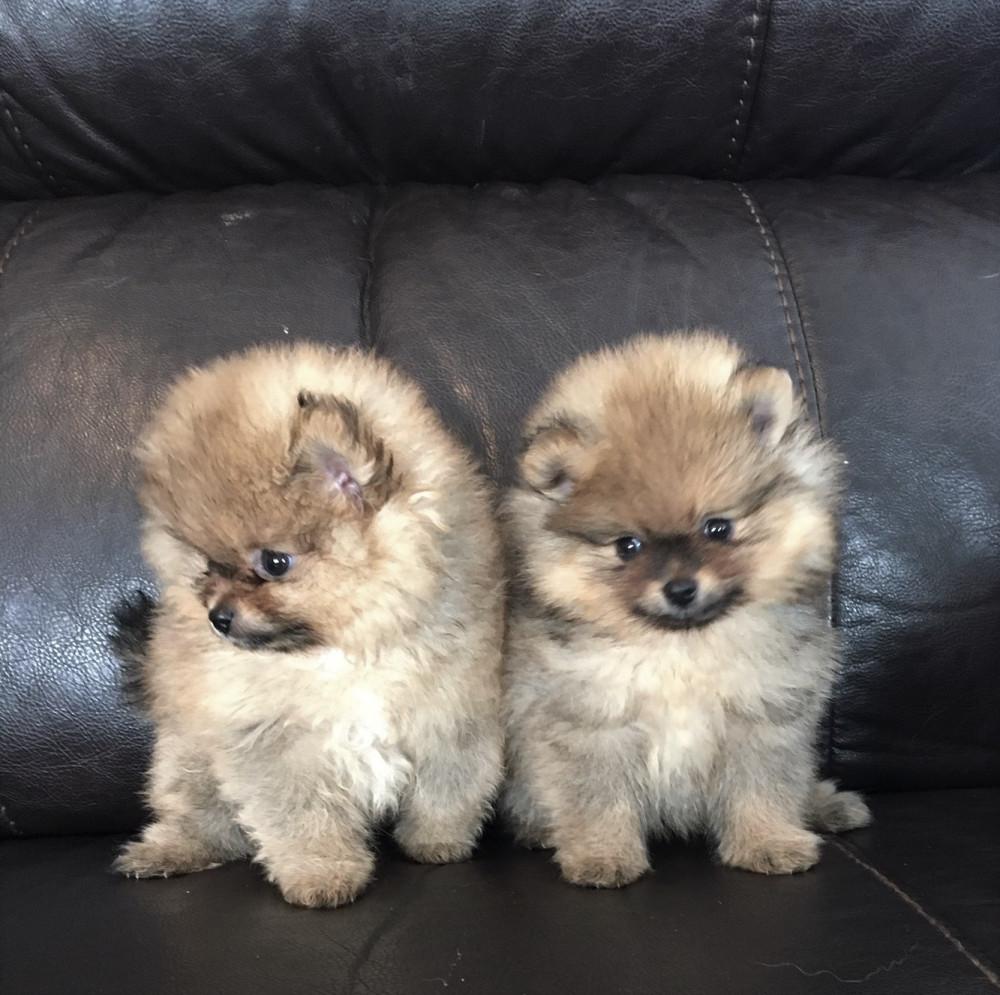 pomeranian puppies available   available pomeranians