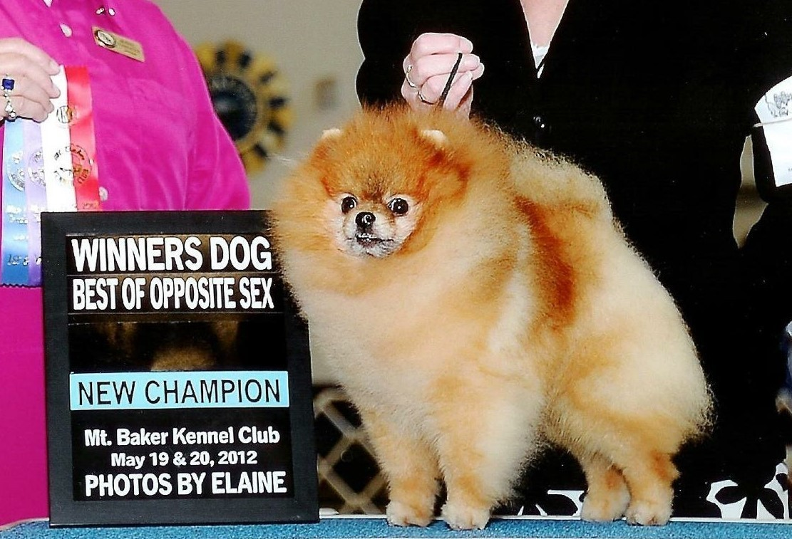 Pomeranian puppies available available pomeranians pomeranian champion micky is the sire of rubys babies nvjuhfo Images