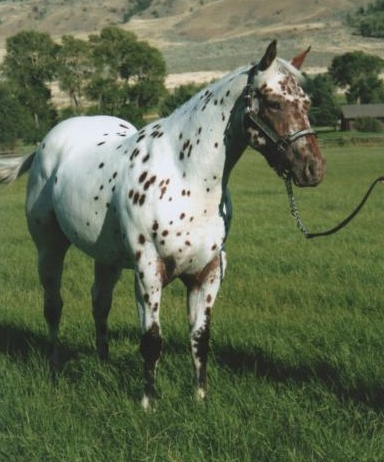 accent ranch appaloosa horses for sale