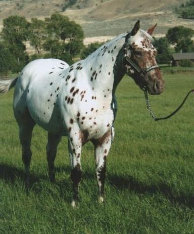 Miniature Appaloosa Ponies For Sale - 0425