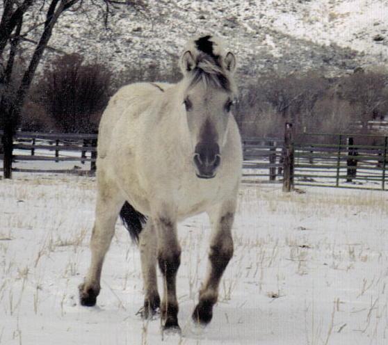 Gray Norwegian Fjord Stallion