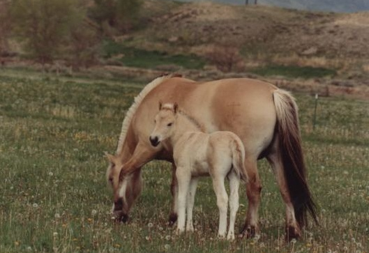 Norwegian Fjord Mare and Foal Colt