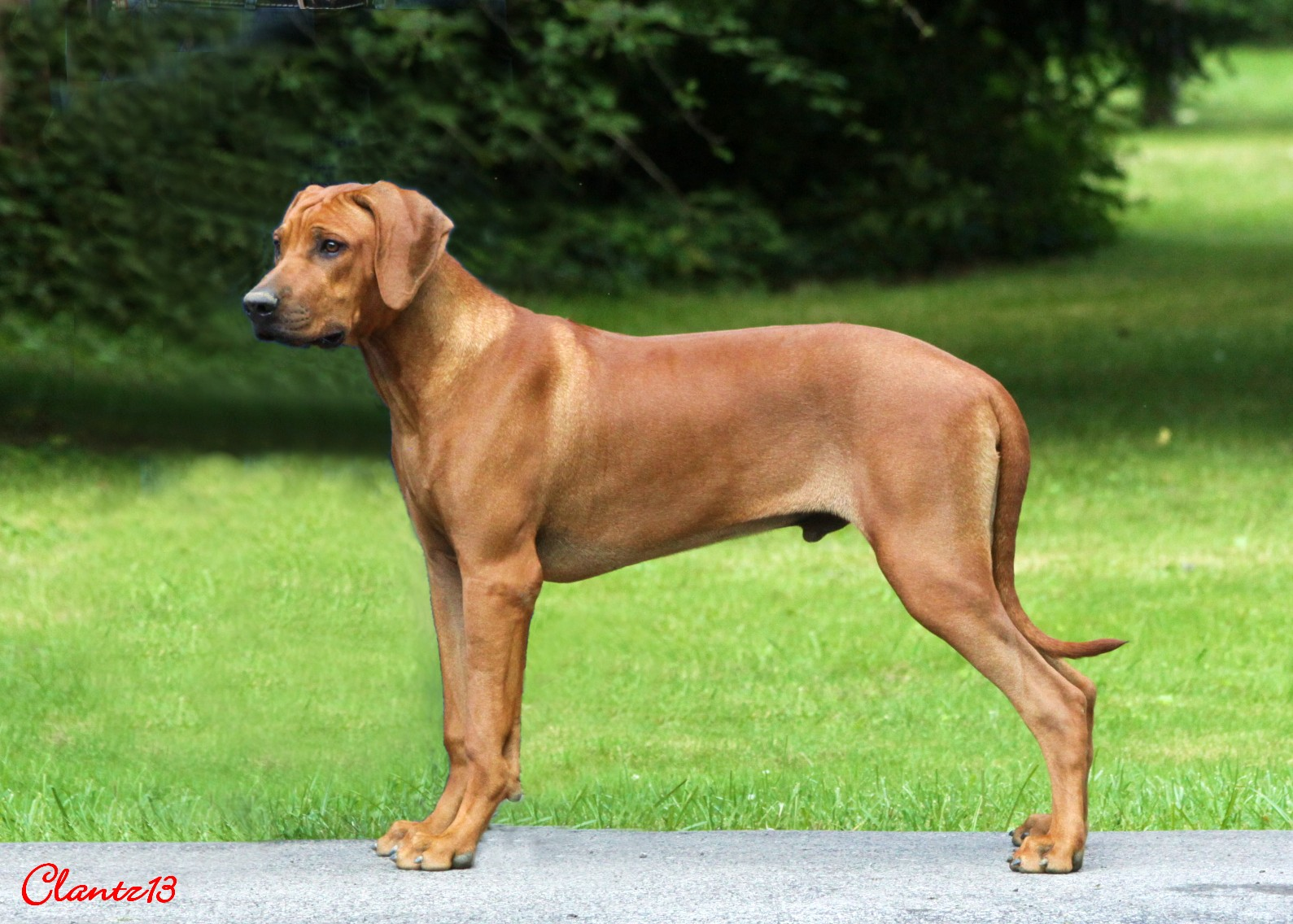 Dogs Like Rhodesian Ridgeback