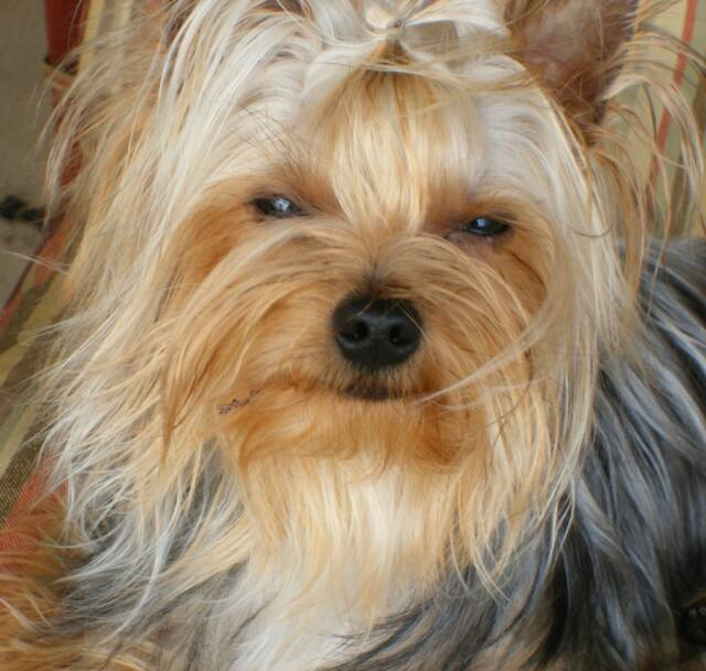 Cuddlebug Yorkies Akc Quality Yorkies Champion Bloodlines Offering