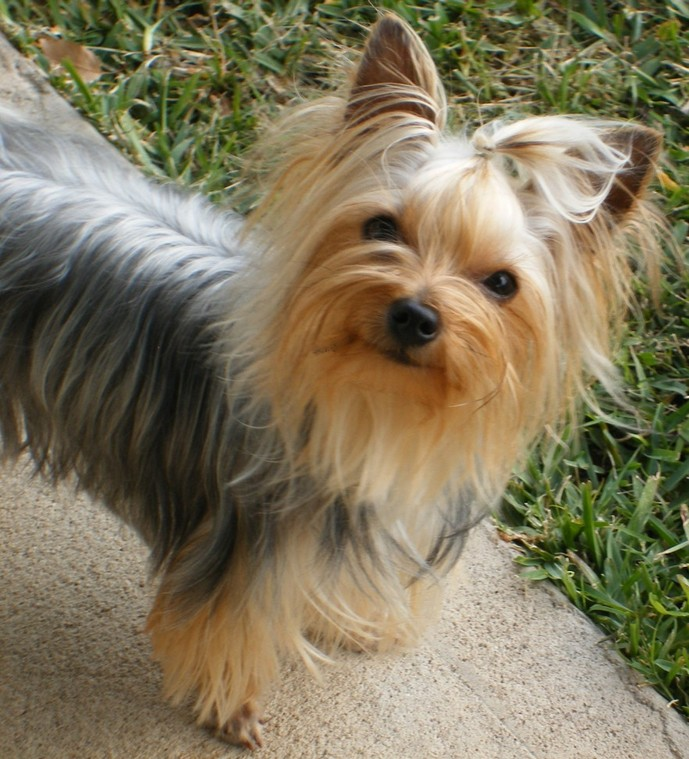 Parti Yorkie Haircuts Newhairstylesformen2014 Com