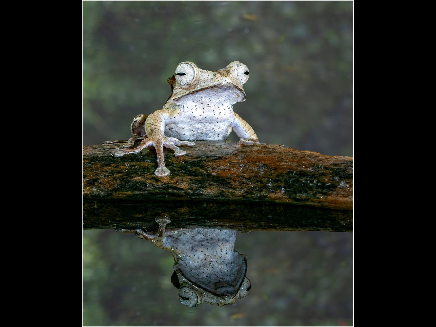 Golden Tree Frog with Reflection