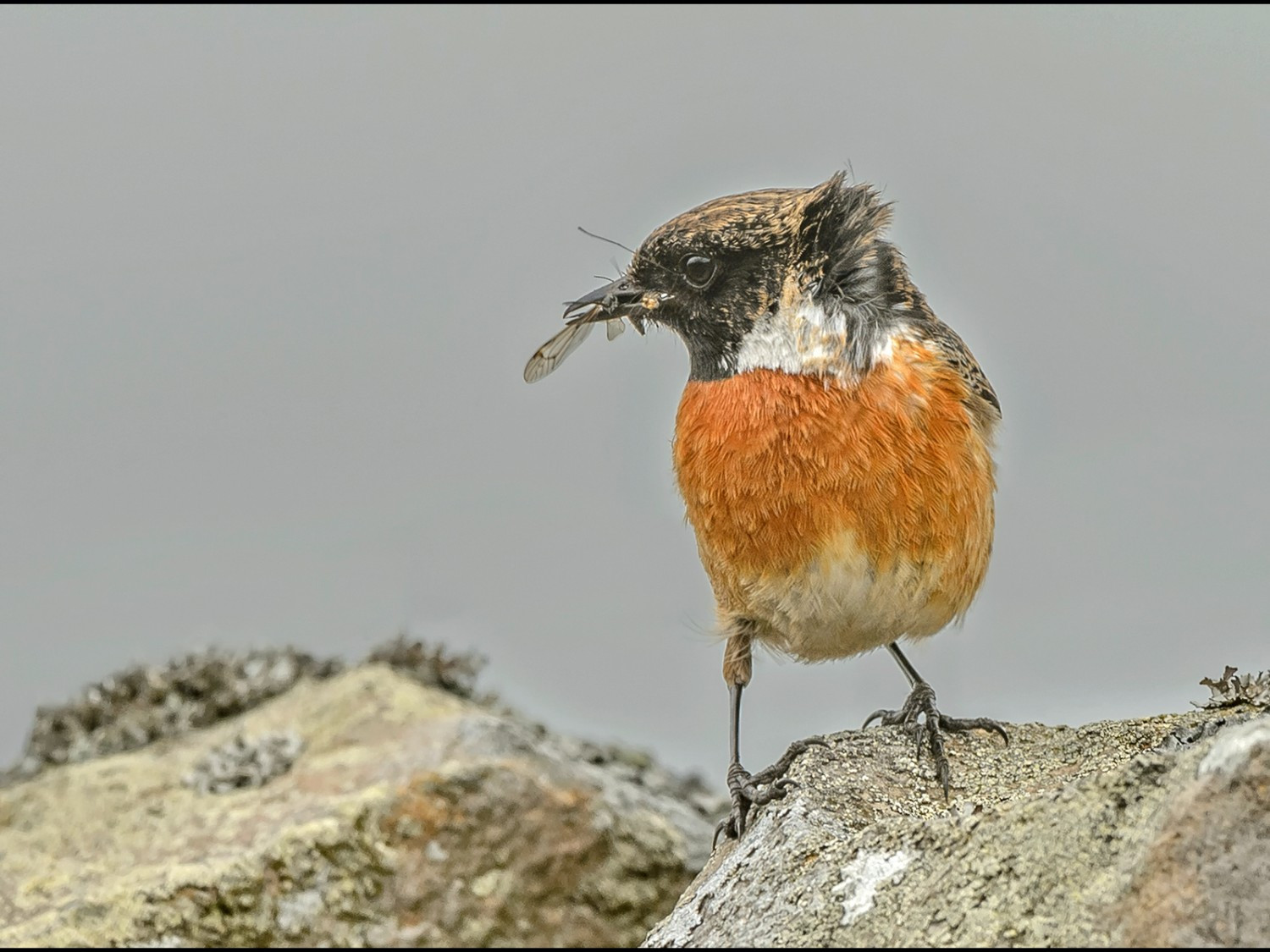 Male Stonechat with Prey