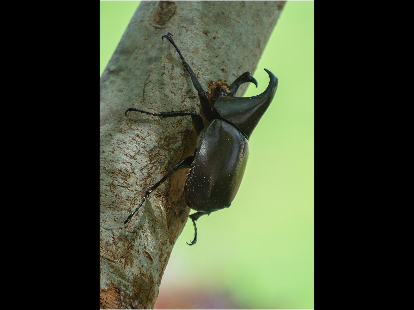 A Rhino beetle in a Queensland garden