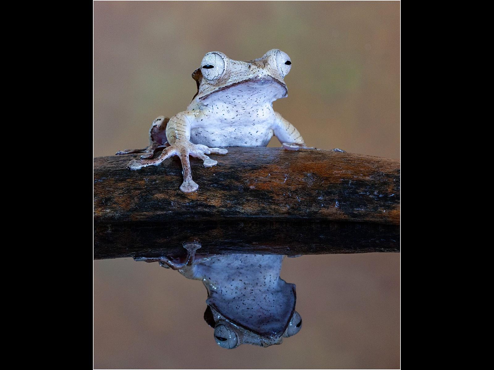 Golden Tree Frog & Reflection
