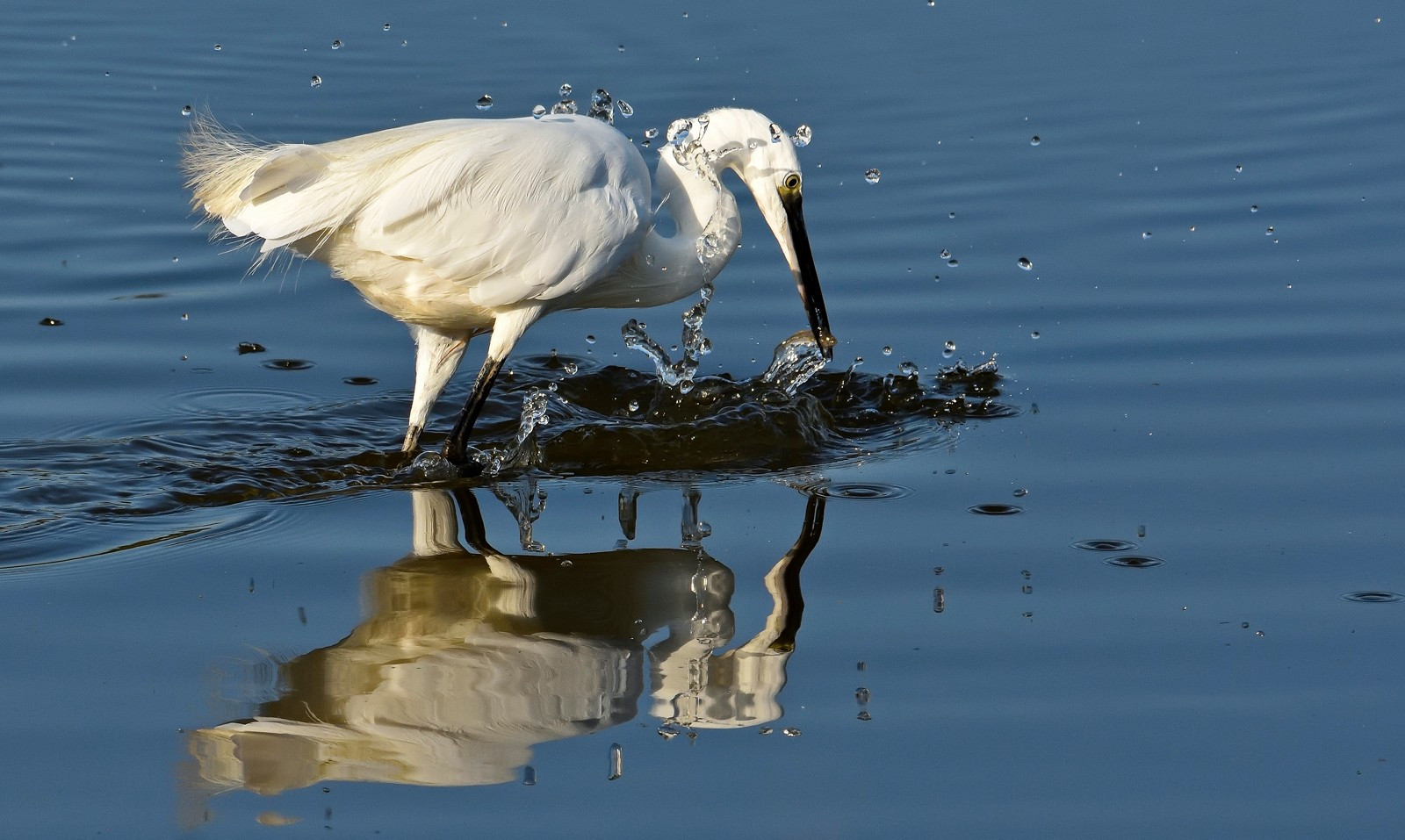 Little Egret 037