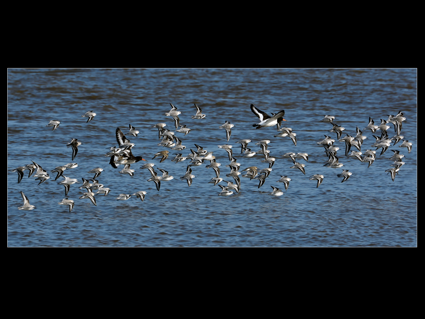 oystercatchers with sanderling
