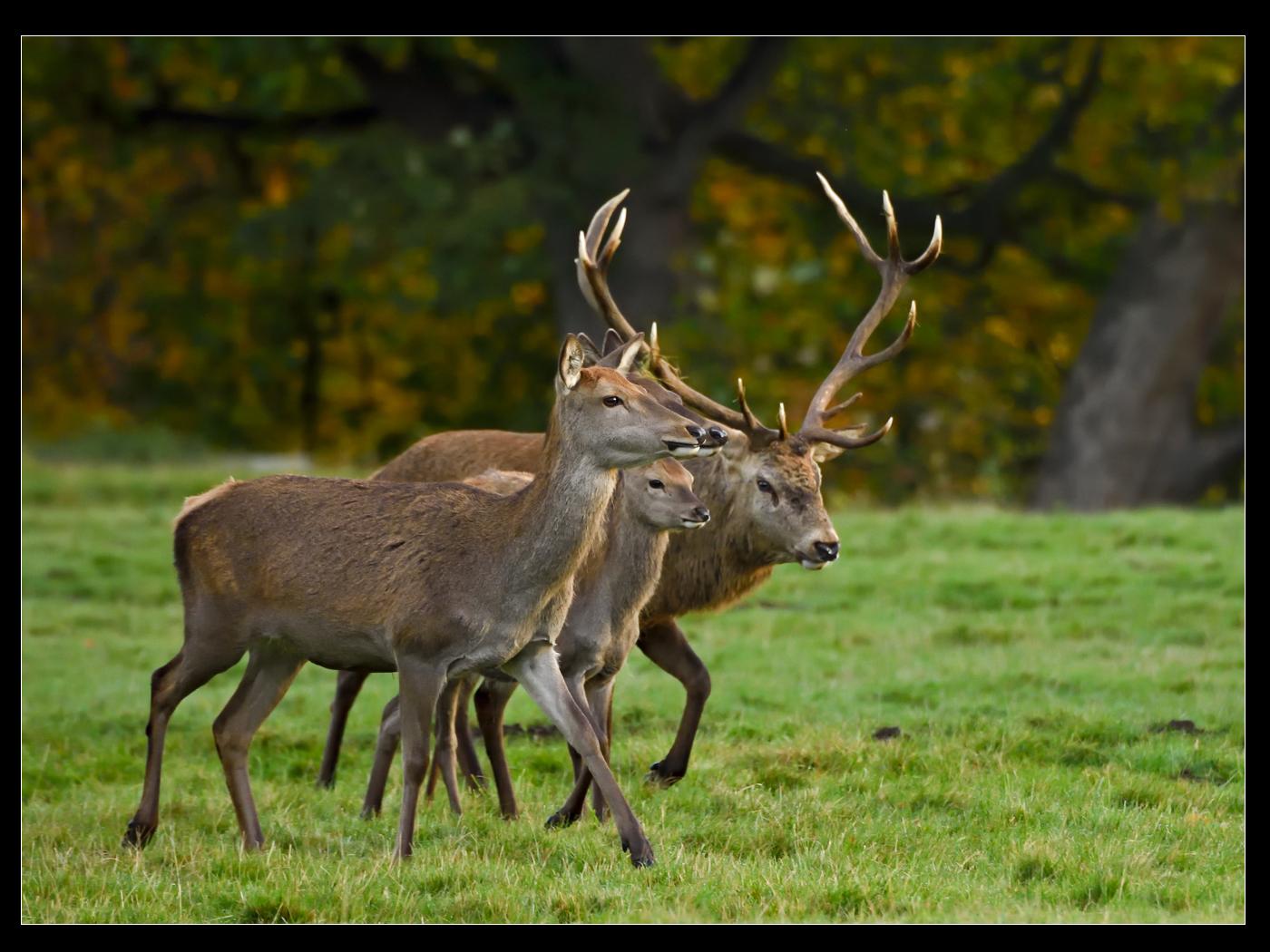 red deer family group