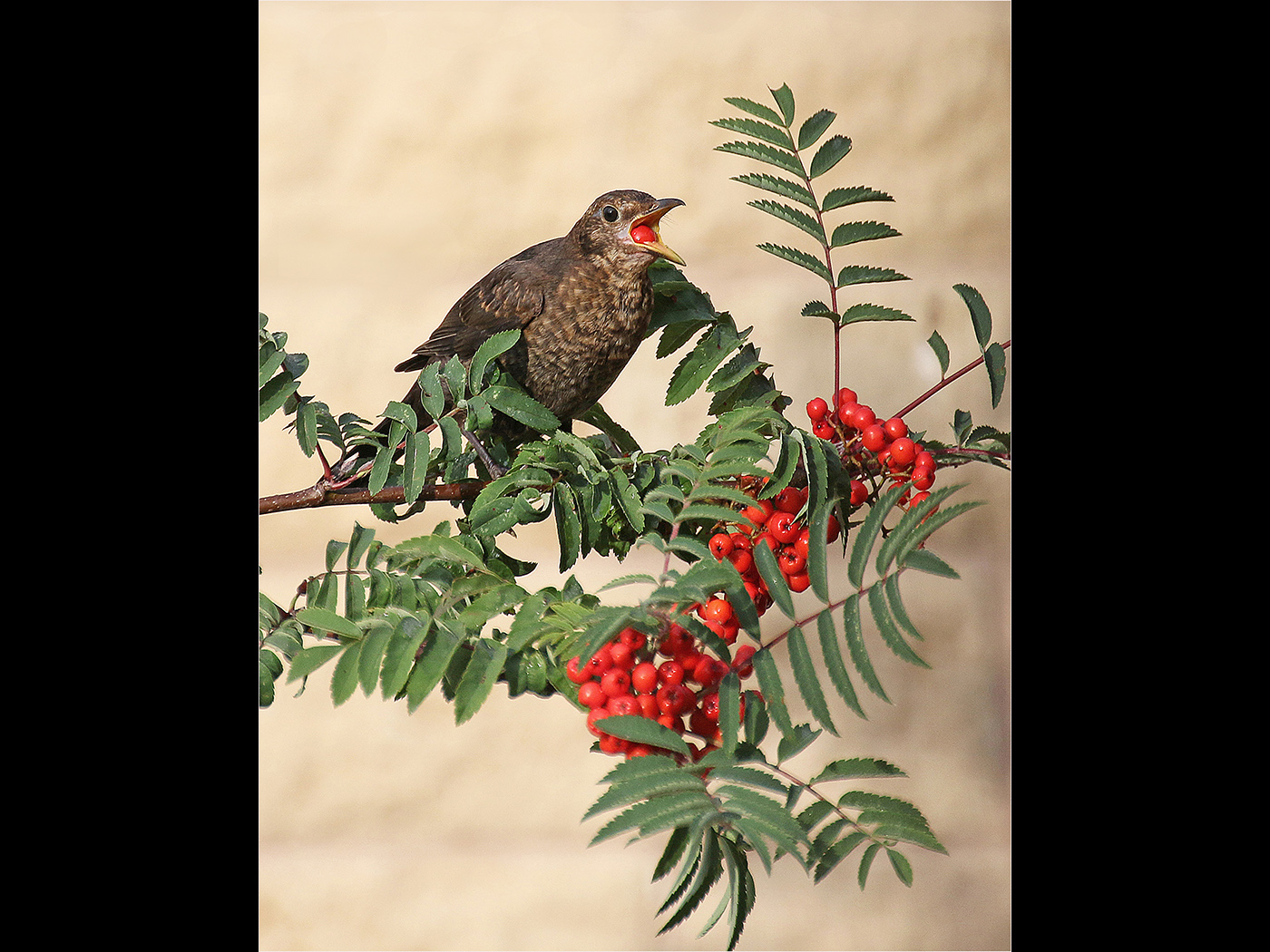 Female Blackbird Eating Berries