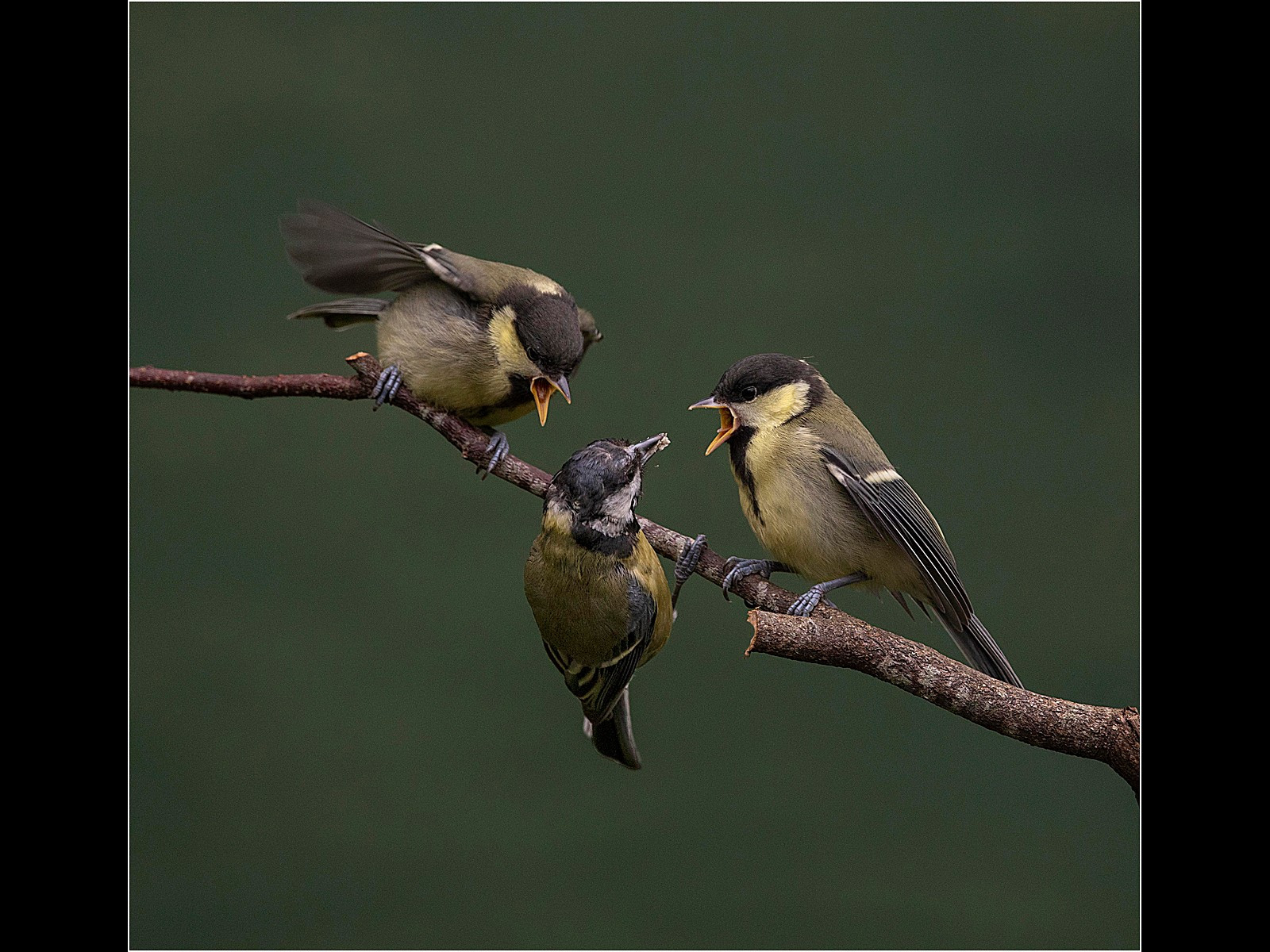 Female Great Tit Feeding Young