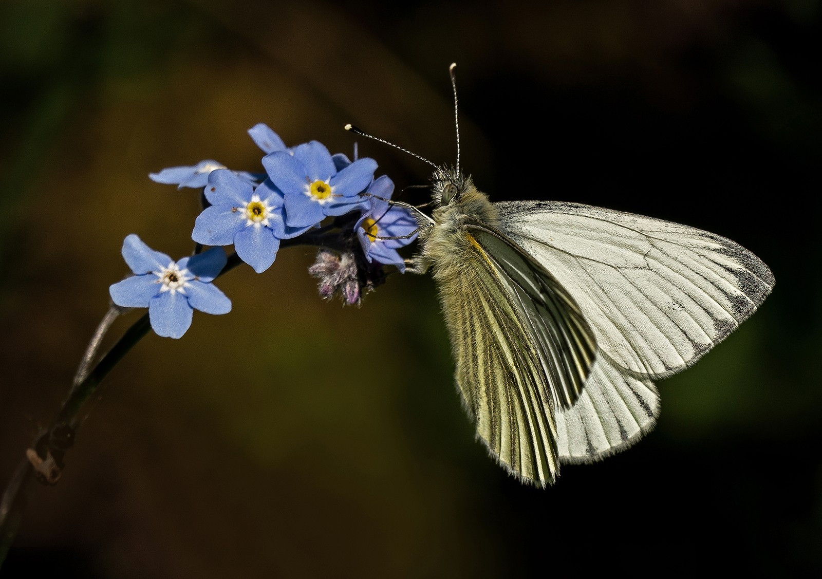 Green vained white on a Forget me not.