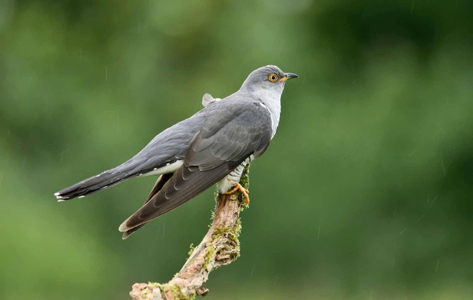 Common Cuckoo male in rain