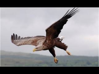 swooping juvenile white tailed eagle