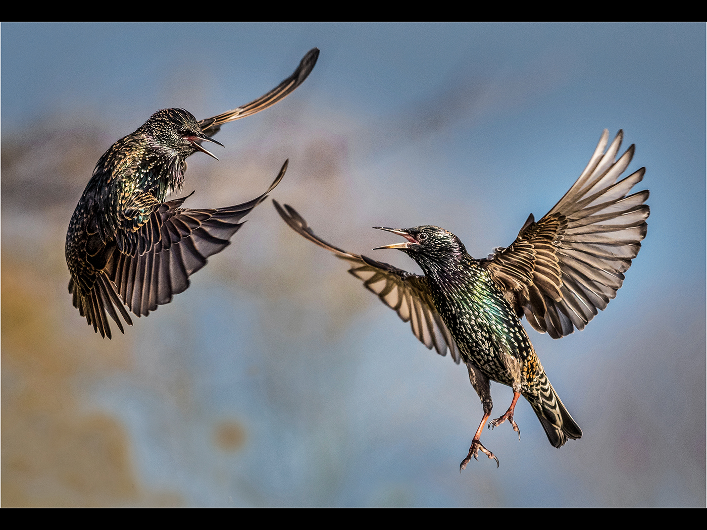 01_Bill Smith_Fighting Starlings