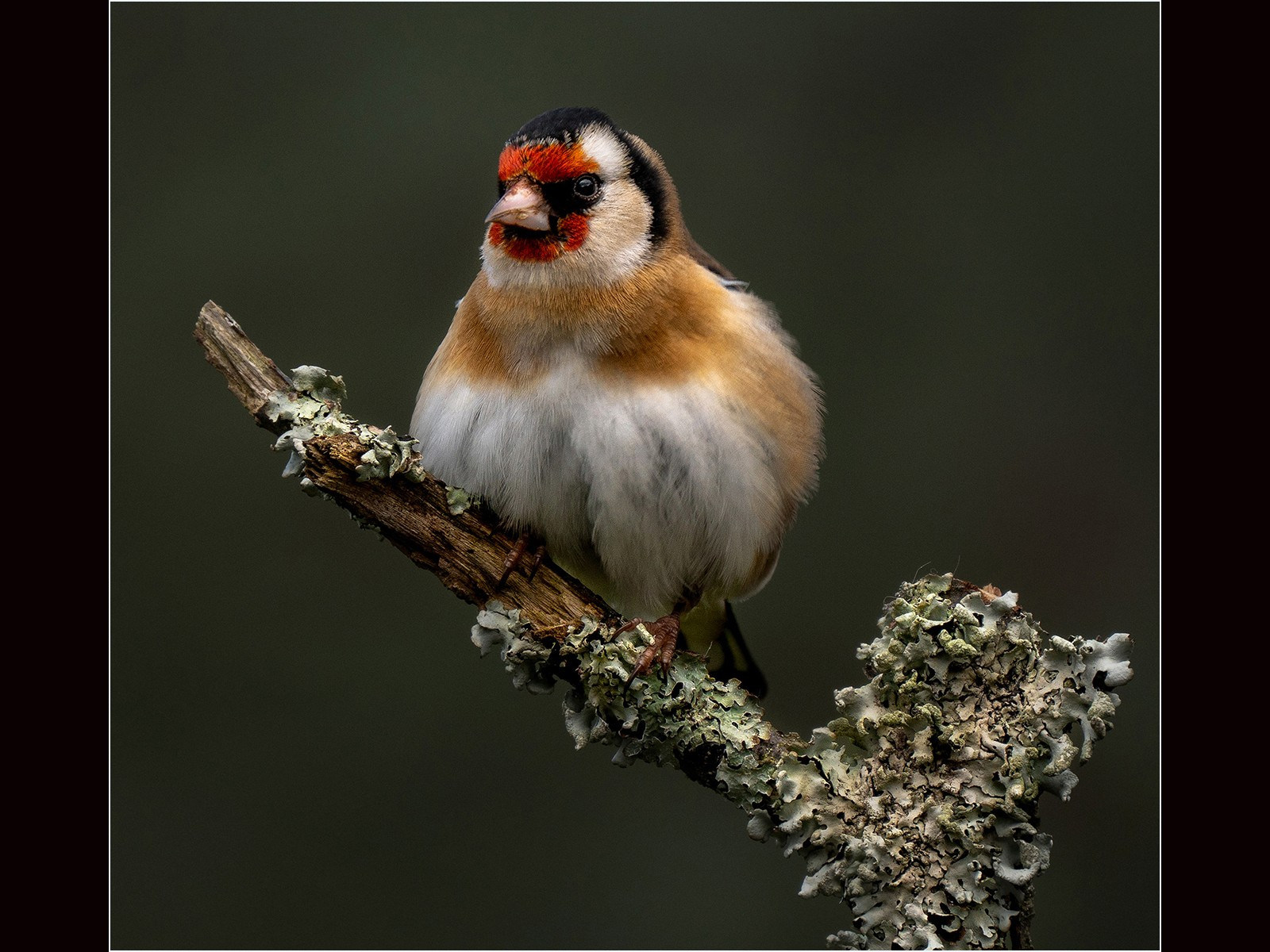 All Fluffed up. Goldfinch on a Lithchen coverd branch.