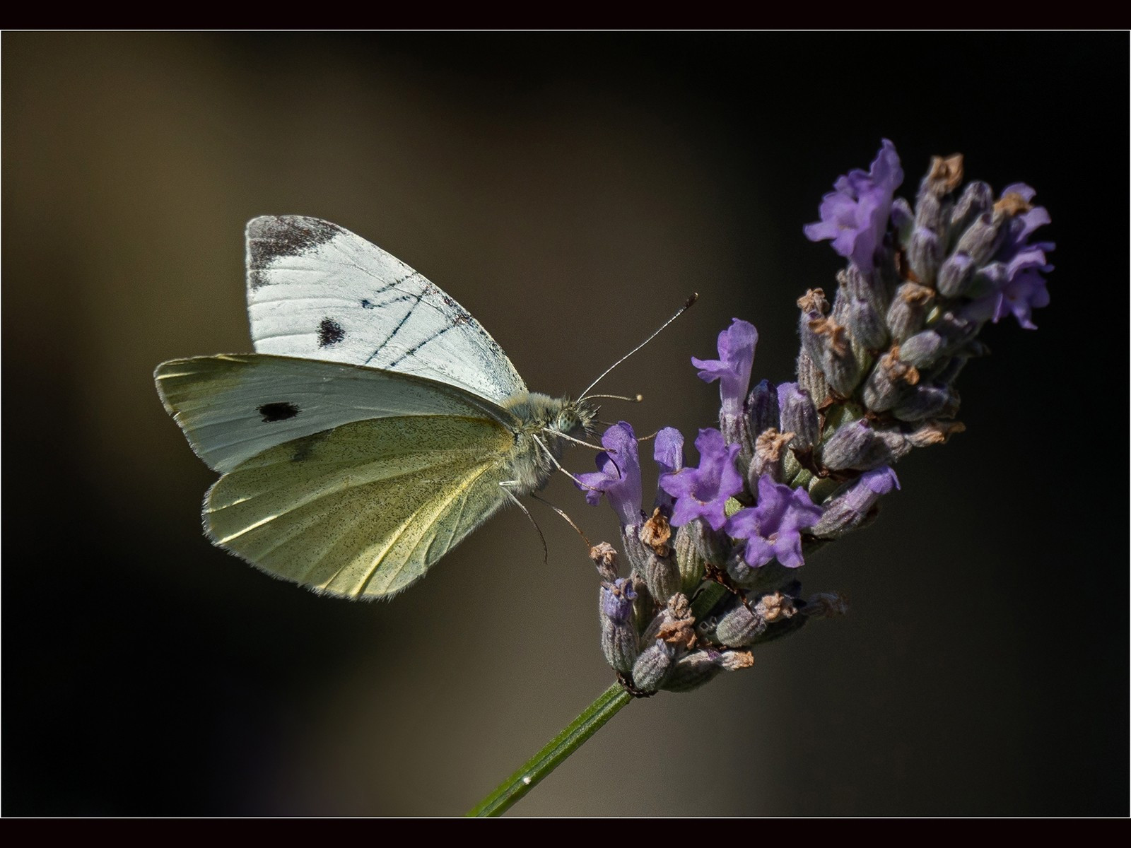 Small White  Butterfly on Lavender.