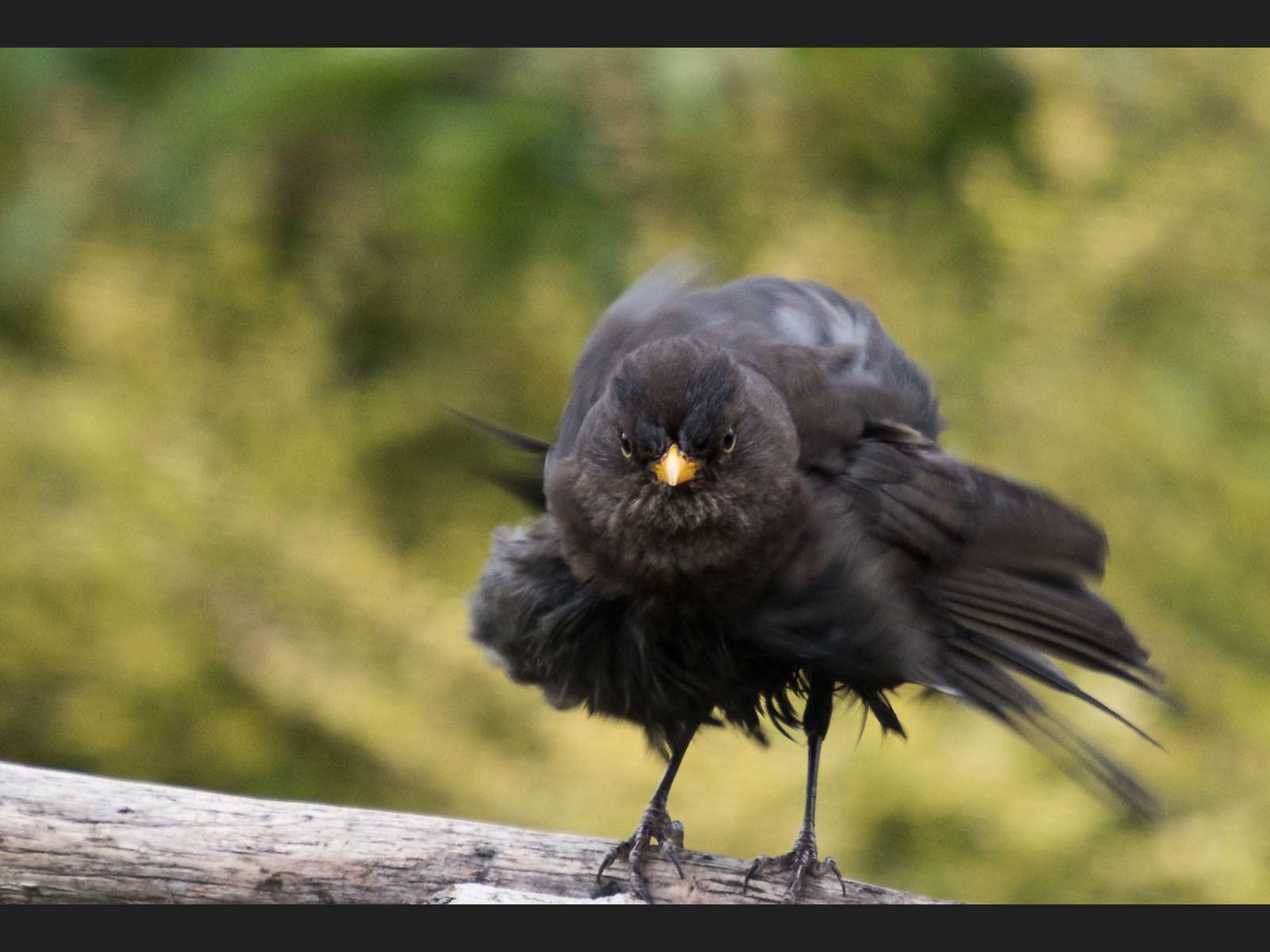 3Y8A0634 blackbird ruff