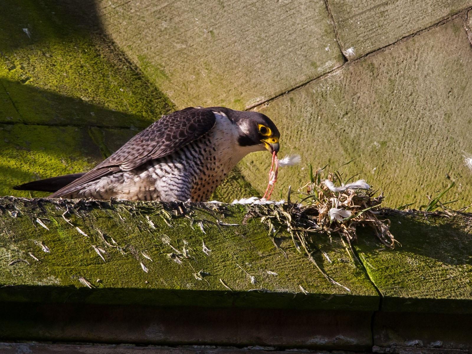 IMG_4689 peregrine eating pidgeon