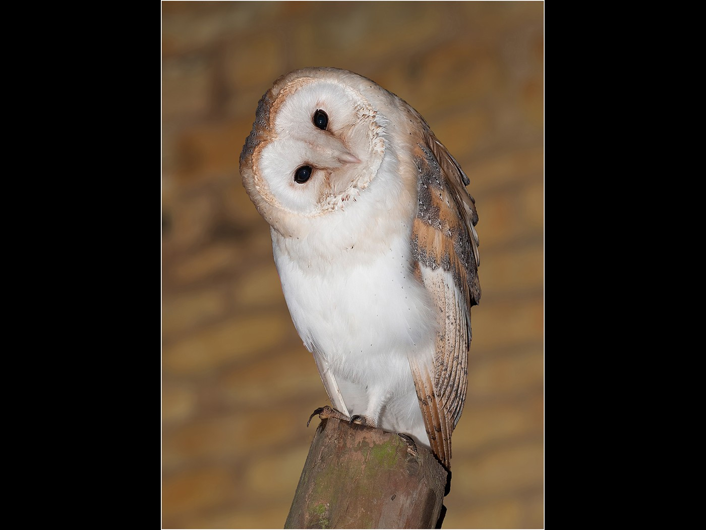 BARN OWL by Tony Robinson