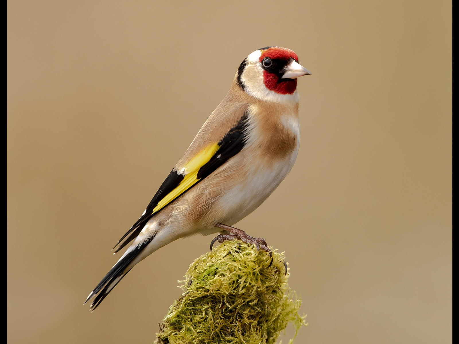 Goldfinch by Andy Pritchard