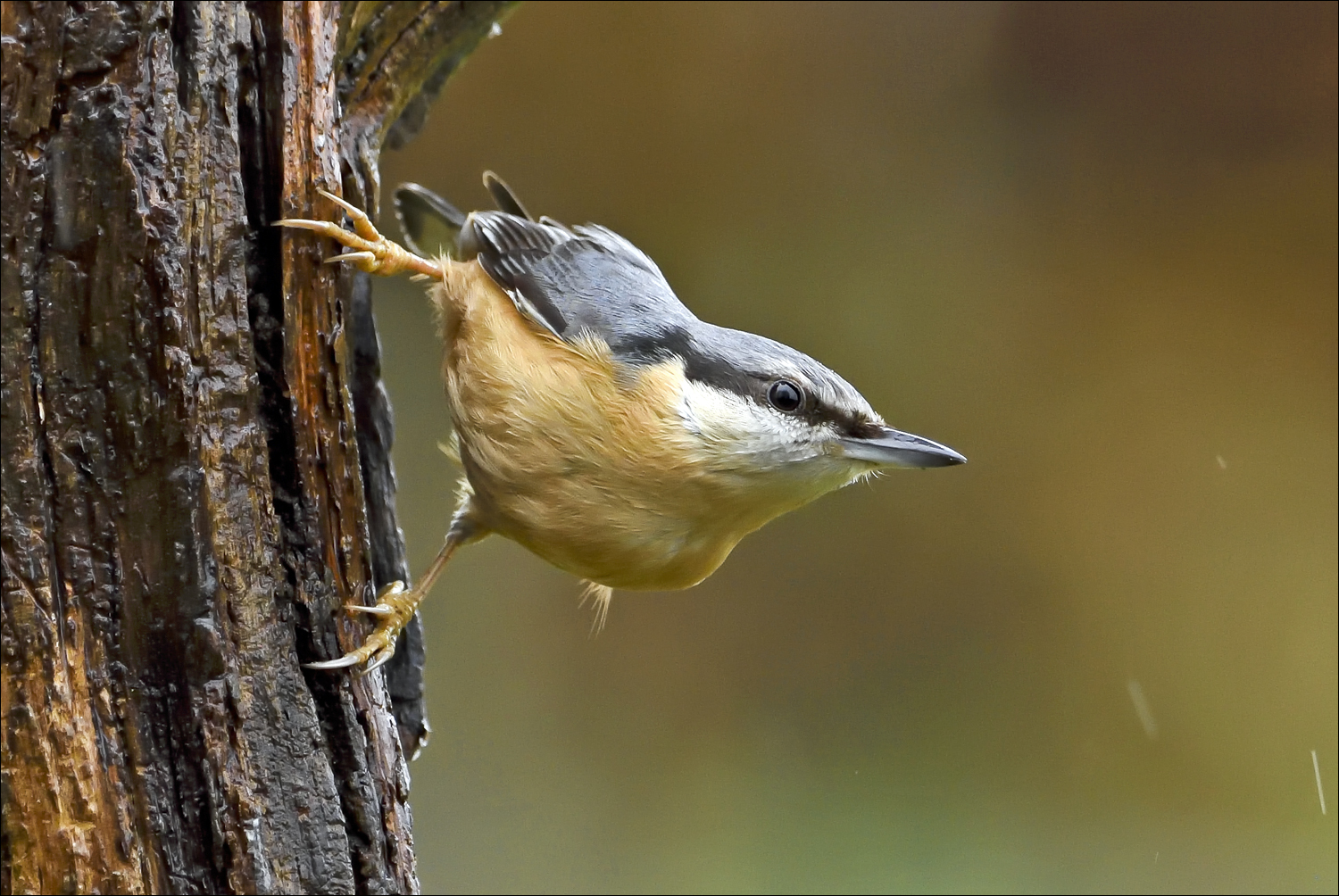 Nuthatch 035 in rain