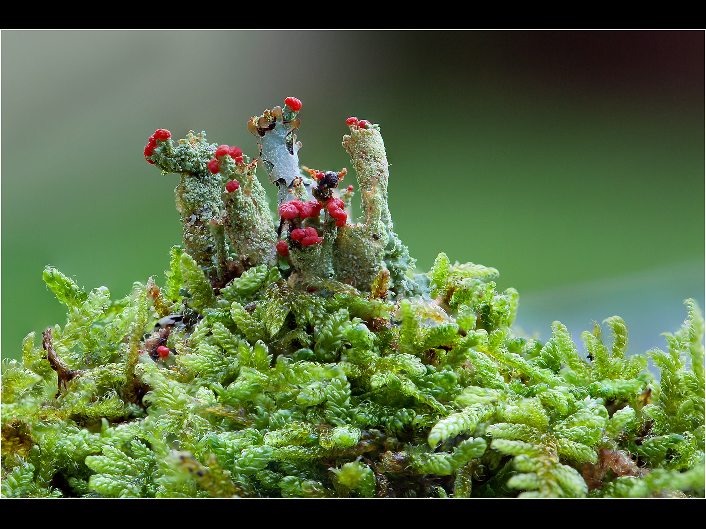 Cladonia Lichen in Flower