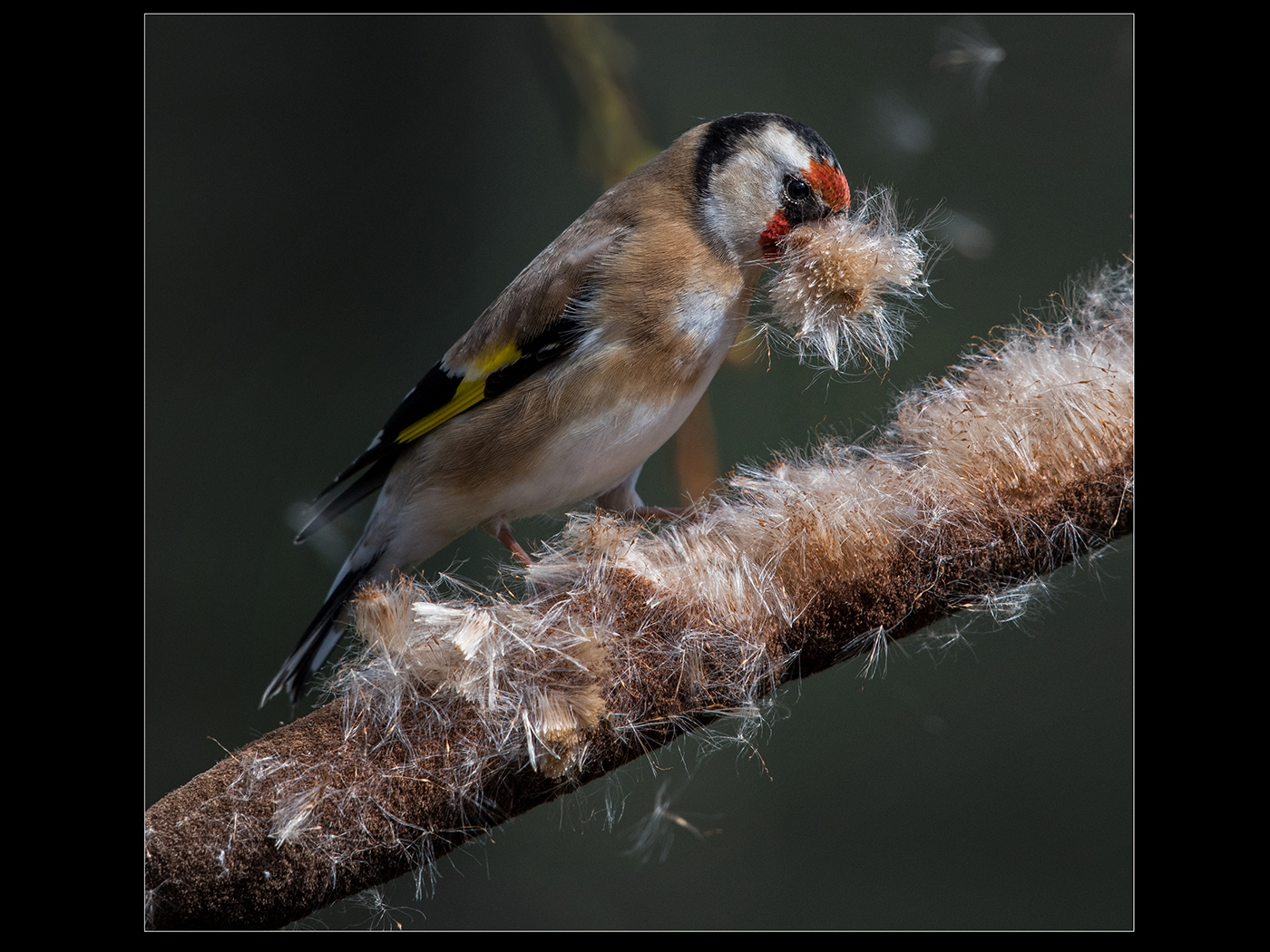 Gold finch collecting nesting material of a bullrush