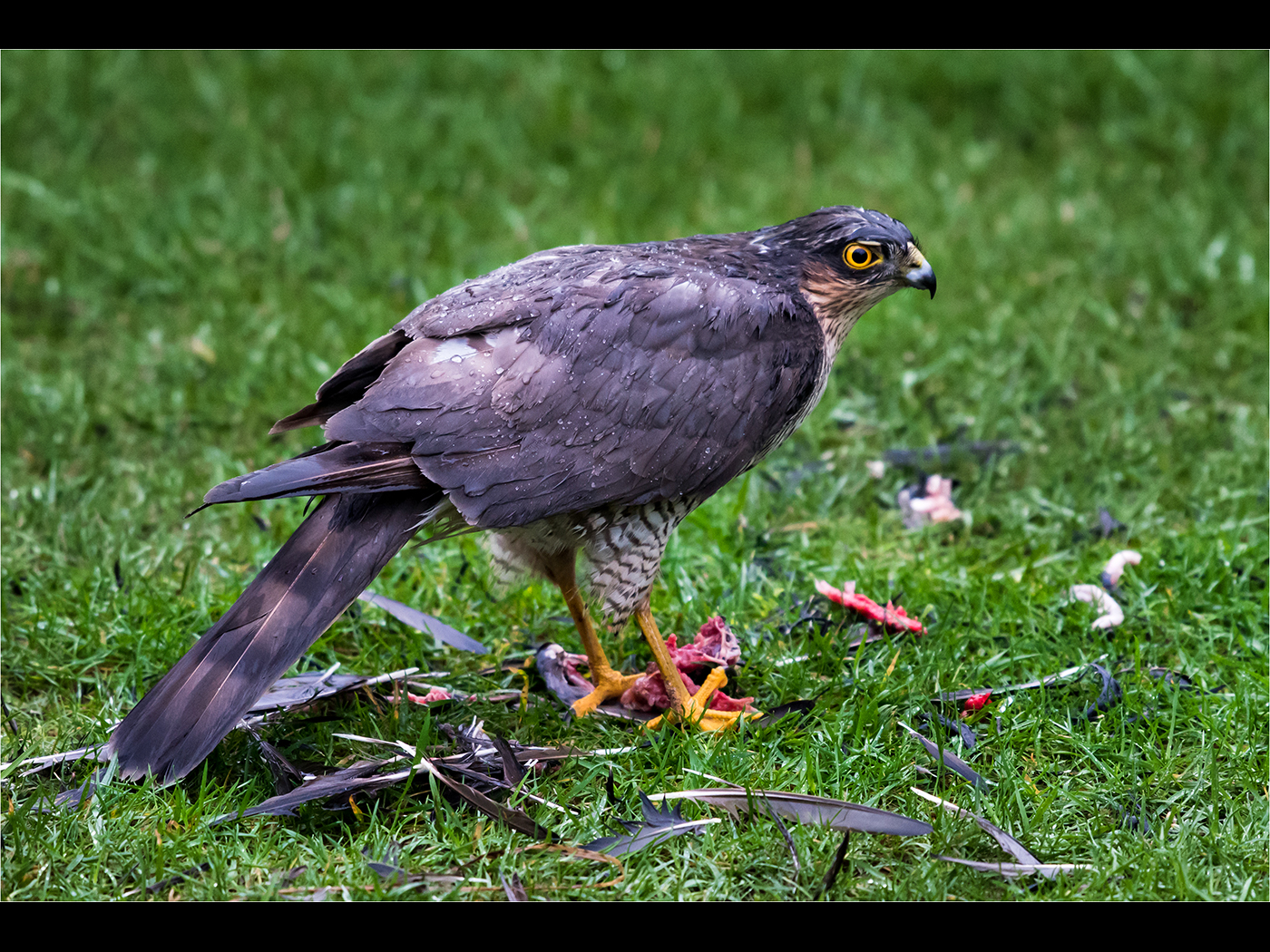 Sparrow Hawk with prey in the rain