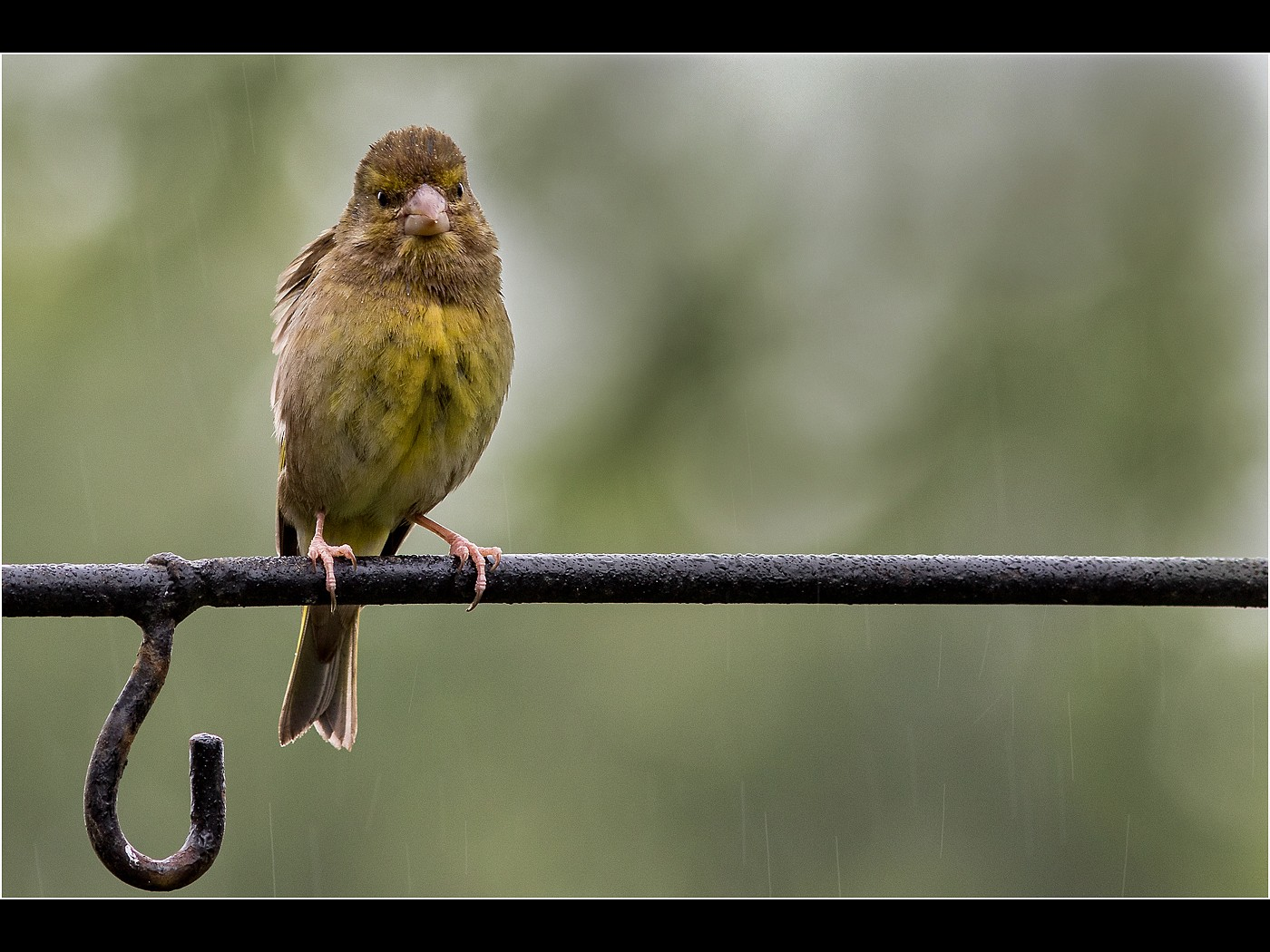 Greenfinch in the Rain