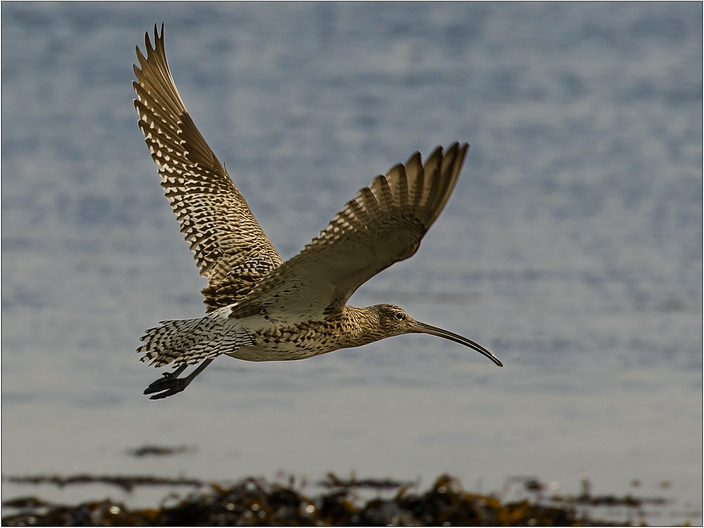 Curlew on Seashore