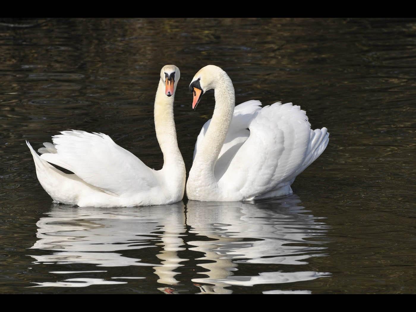 Pairing Swans