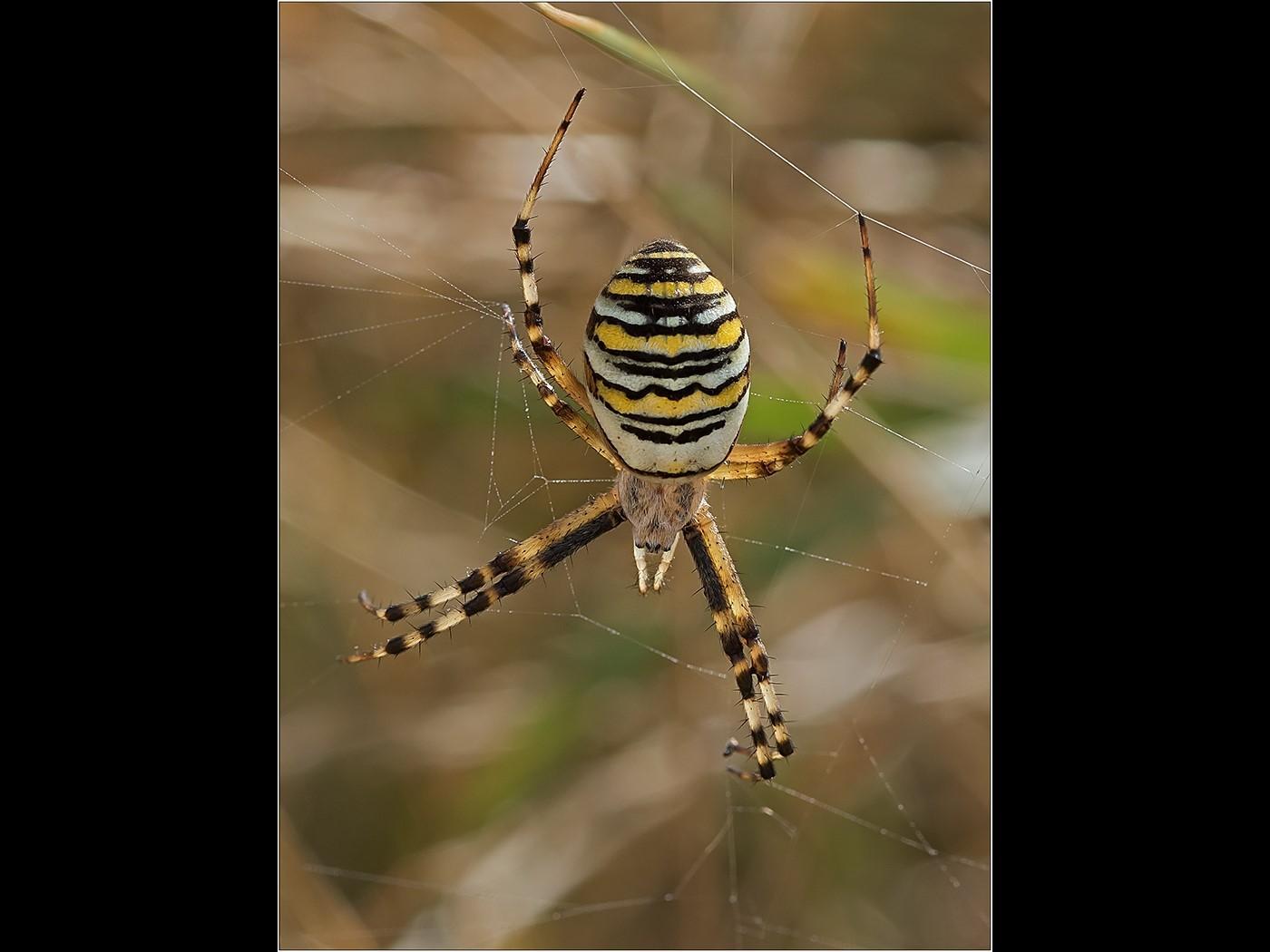 Wasp Spider - Minsmere