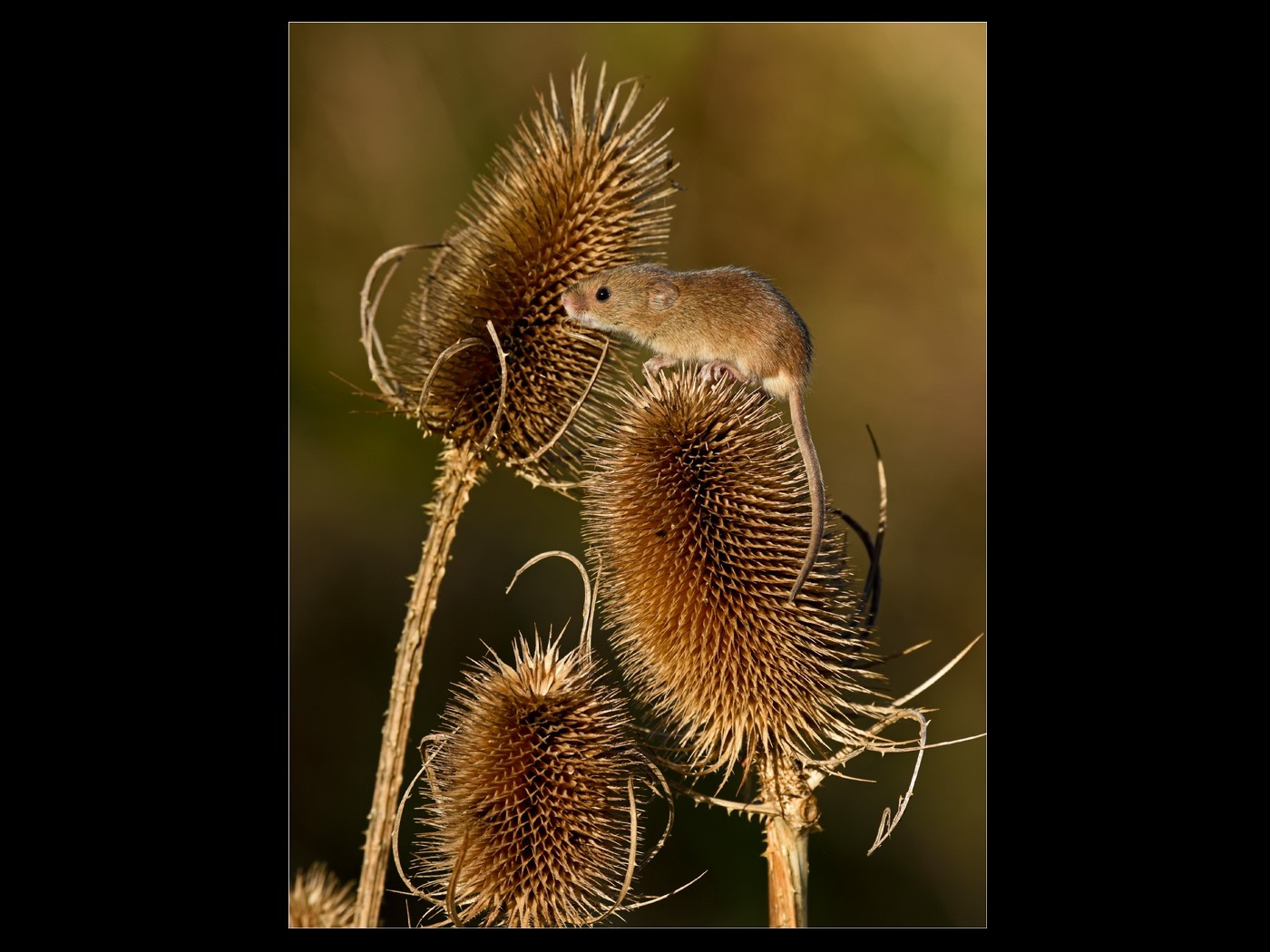 Harvest Mouse on Teasel