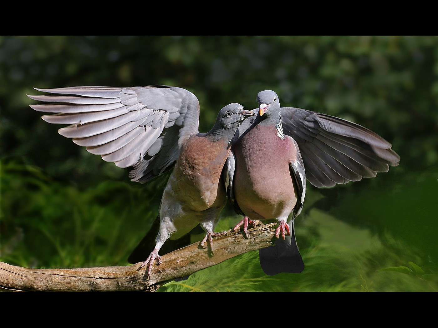 Wood Pigeons in a Courting Mood