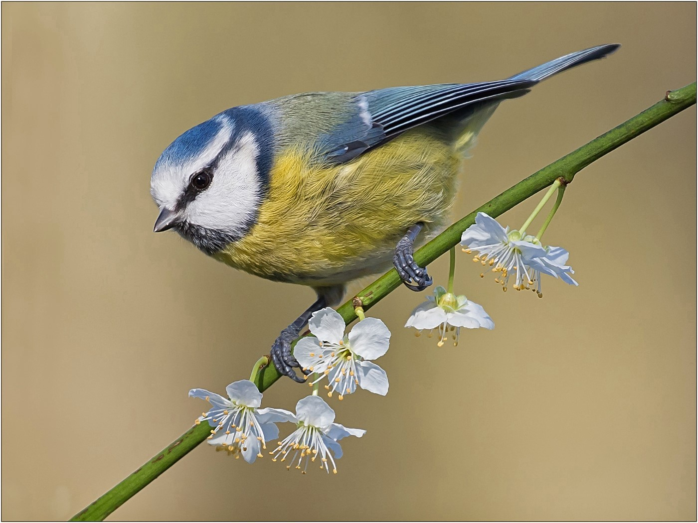 Springtime - Blue Tit