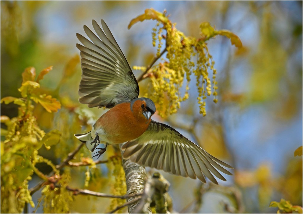Chaffinch in flight in oak tree