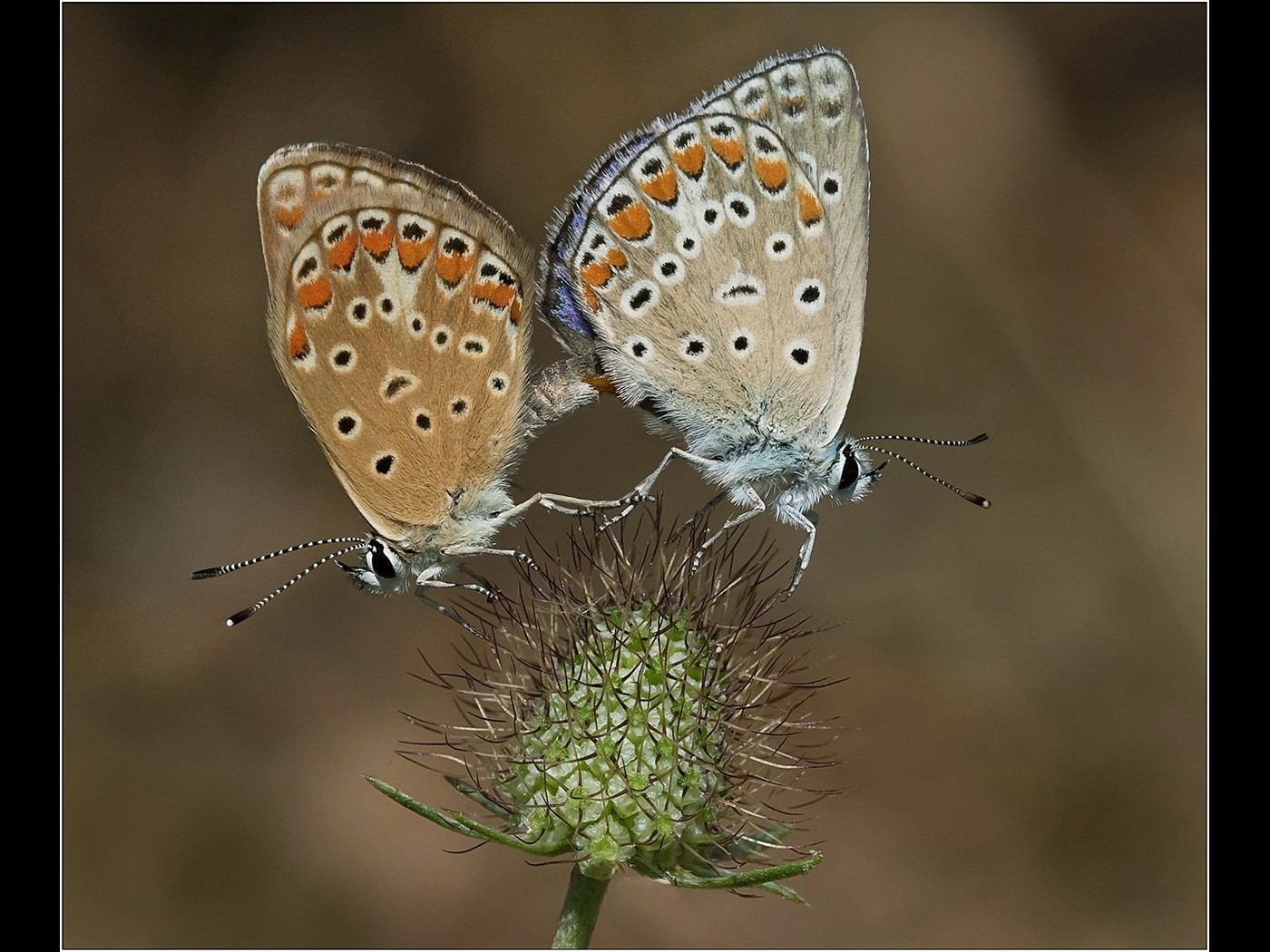 Common Blue Butterflies - Mating