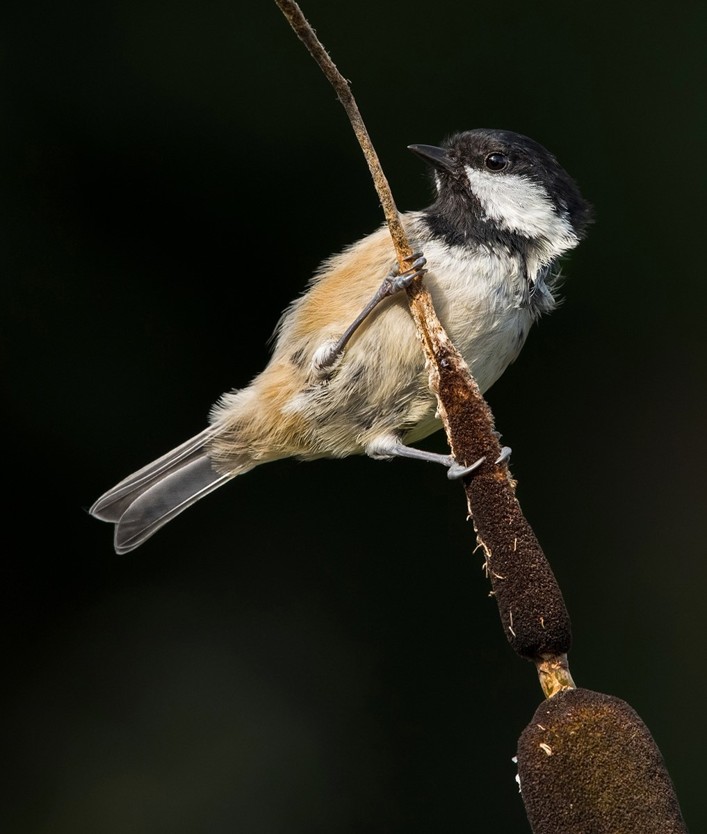 Coal tit on a bullrush