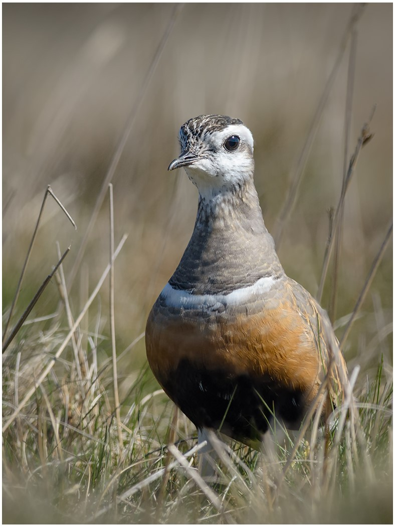 Dotterel on Pendle